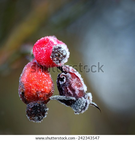 Close up of rose hips with rime frost  - stock photo