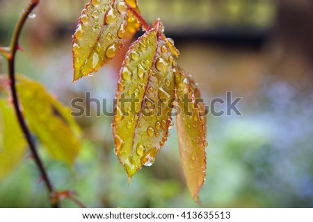 Close-up of rose leaves after rain. - stock photo