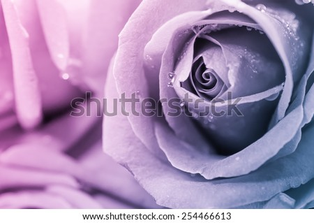 Close up of rose petal, valentine background - stock photo