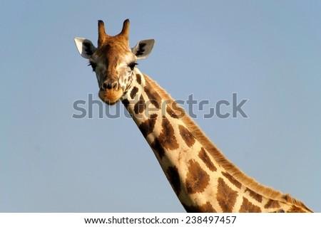 Close-up of Rothschild's giraffe at Murchison Falls National Park in Uganda - stock photo