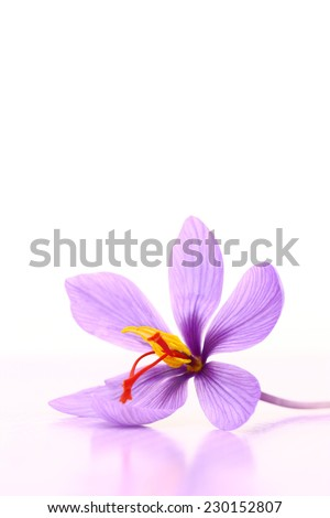 Close up of saffron flower - stock photo