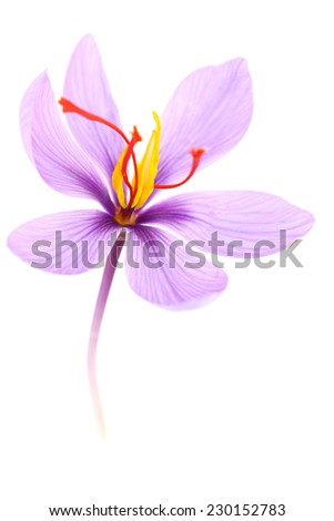 Close up of saffron flower isolated on white background  - stock photo
