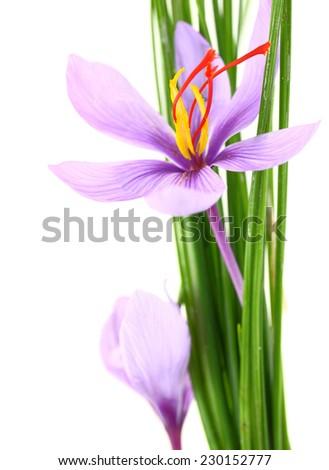 Close up of saffron flowers  - stock photo