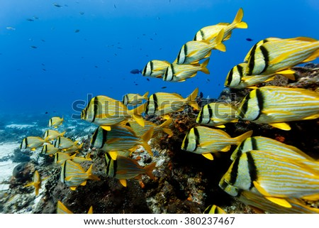 close up of school of Porkfish, Anisotremus virginicus, swimming on coral reef - stock photo
