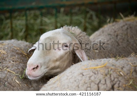 Close up of sheep head in the pen - stock photo
