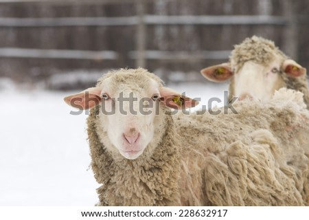 Close up of sheep looking at camera on farmland in wintertime - stock photo