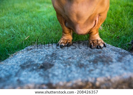 Close up of Short  Dachshund Legs Outside on Lush Green Loan - stock photo