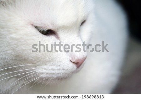 Close-up of shorthair white cat - stock photo