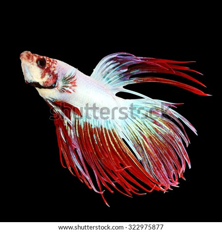 Close up of siamese betta fighting fish isolated on black background - stock photo