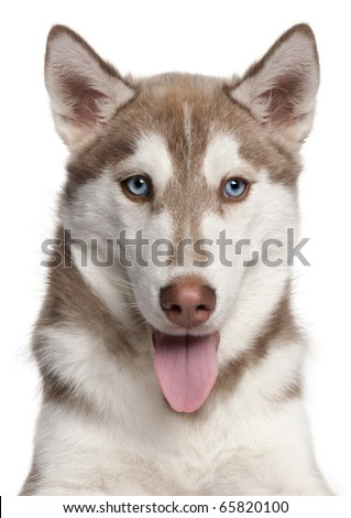 Close-up of Siberian Husky puppy, 4 months old, in front of white background - stock photo