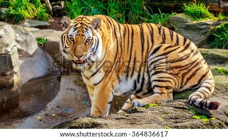 Close-up of Siberian tiger, also known as Amur Tiger (Panthera tigris altaica). - stock photo