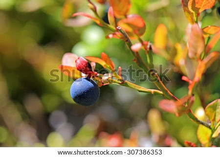 Close up of Single bilberry or Vaccinium myrtillus in autumn, very shallow depth of field, suitable for backgrounds. - stock photo
