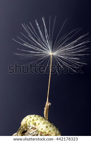 Close up of Single Dandelion Seed still attached to flower head against a dark background - stock photo