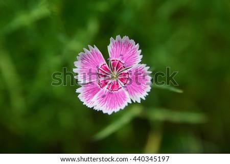 Close up of single sweet william flower - stock photo
