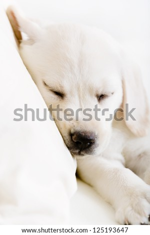 Close up of sleeping Labrador puppy on the white leather sofa - stock photo