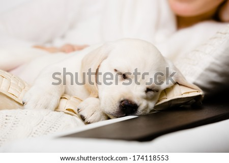 Close up of sleeping puppy of labrador on the hands of female owner sitting on the sofa - stock photo