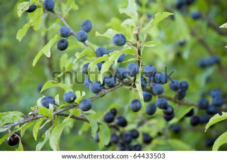 close up of sloes - stock photo