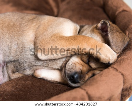 Close Up of Small Young Terrier Mix Puppy Hiding Face in Brown Plush Dog Bed - stock photo