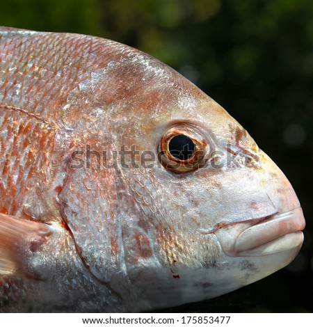Close up of snapper head - stock photo