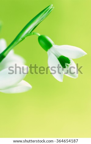 Close-up of snowdrop head on bright green background. Soft focus, shallow DOF. - stock photo