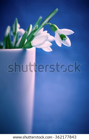 Close-up of snowdrops in vase on blue background. Soft focus, shallow DOF. Filtered cool toned image with vignette. - stock photo