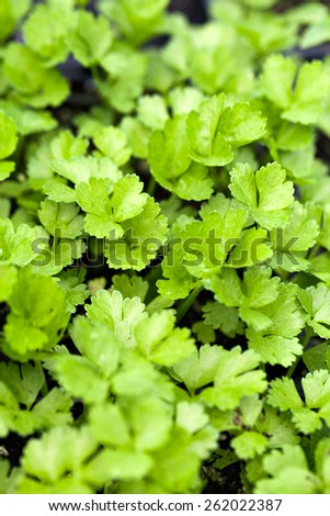 Close up of some young celery plants. Shallow depth of field. - stock photo
