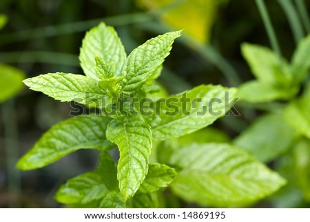 Close-up of spearmint leaves growing in a garden. - stock photo