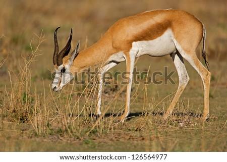 Close-up of Springbok walking in grass-field; Antidorcas marsupialis - stock photo