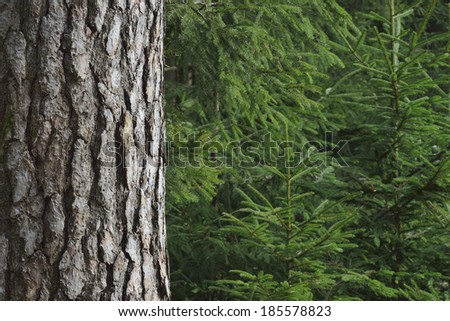 Close-up of spruce trees - stock photo