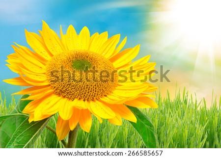 Close up of sunflower - stock photo