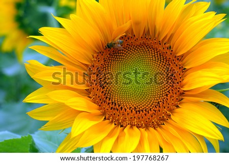 Close up of sunflower in the field - stock photo