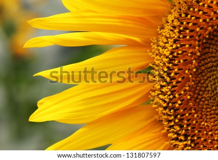 close up of sunflower on field - stock photo