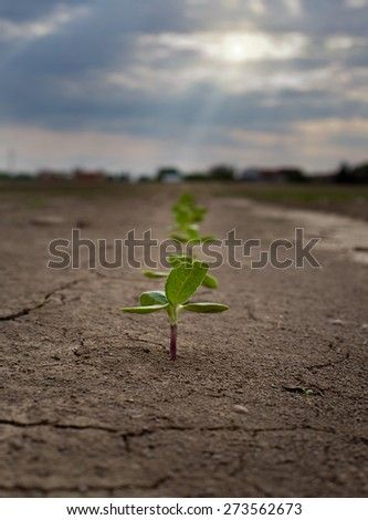 Close up of sunflower sprouts growing from dry soil - stock photo