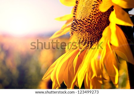 Close up of sunflower. Sunflower field on the background - stock photo