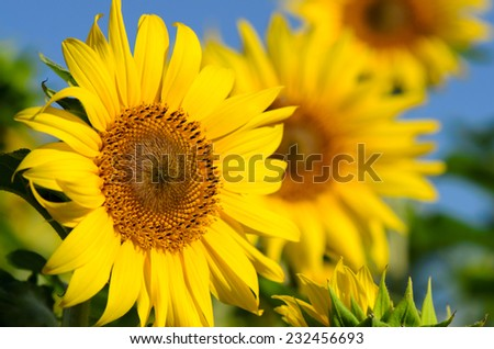 Close up of sunflowers in the field with blue sky background. - stock photo