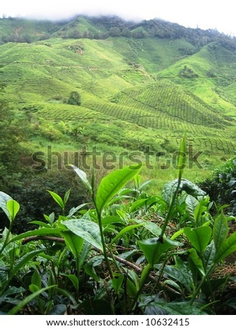 Close Up Of Tea Plants - stock photo