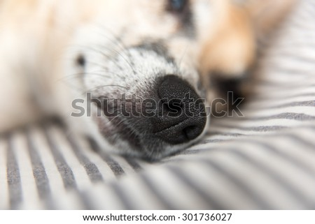 Close up of Terrier Dog's Face with Focus on Nose - stock photo
