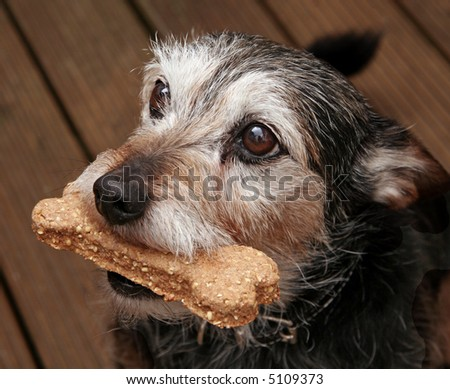 Close-up of terrier with a bone shaped treat in his mouth - stock photo