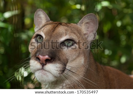 Close up of the beautiful eyes of a large male cougar in Belize. - stock photo
