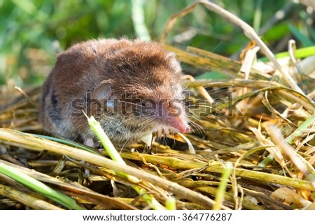 Close up of the bicolored shrew in the nature - stock photo