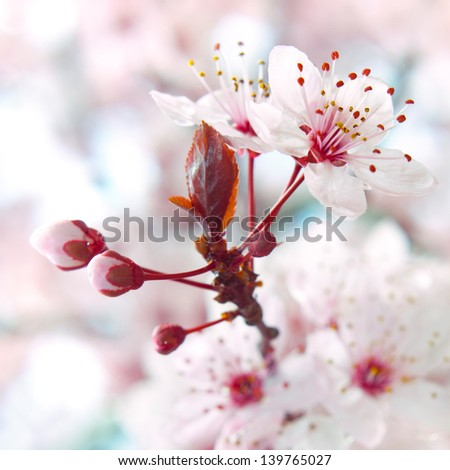 Close up of the blooming branch of the fruit tree. - stock photo