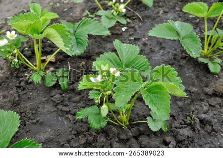 close-up of the blooming strawberry in the vegetable garden - stock photo