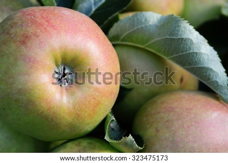 Close-up of the bottom of a red and green apple growing with others on the tree,  - stock photo