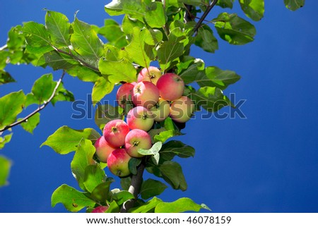 Close-up of the branch with ripe apples - stock photo