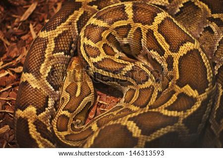 Close up of the bright, big and colorful anaconda snake - stock photo