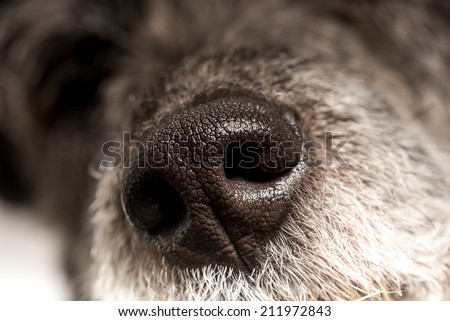 Close up of the cold wet nose of a dog showing the nostrils and texture of a loyal loving canine companion and pet. - stock photo