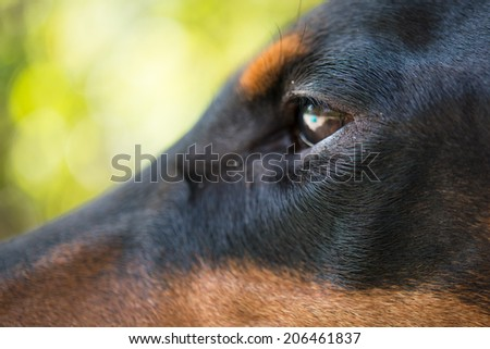 Close-up of the eye of Doberman Pinscher - stock photo