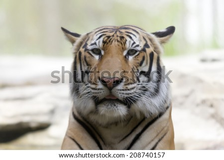 close up of the face of a Bengal tiger - stock photo