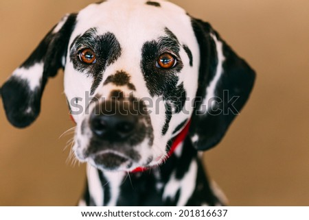 Close up of the face of a dalmatian dog. Beautiful Dalmatian dog head portrait with cute expression in the face - stock photo