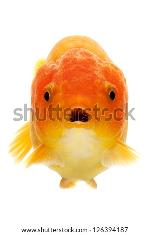 close up of the face of a red Goldfish isolated on white background - stock photo